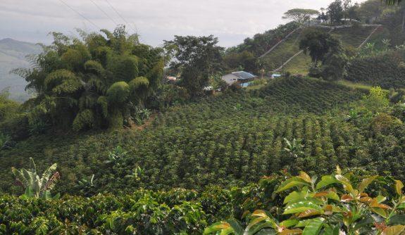 Producción de café de Colombia cae 28 % en abril
