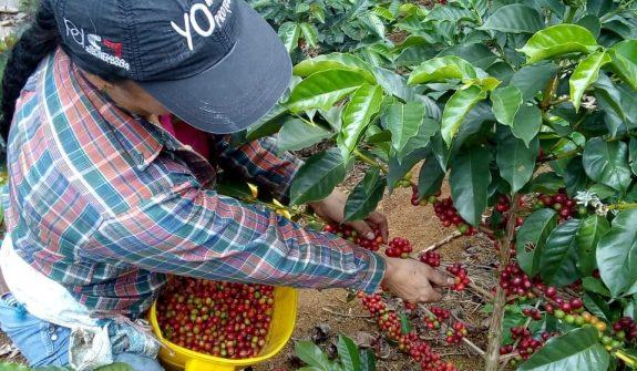 Cosecha cafetera en el Valle del Cauca
